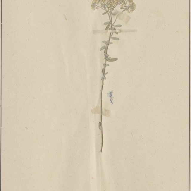 Gnaphalium luteoalbum L. - nadzemná časť rastliny