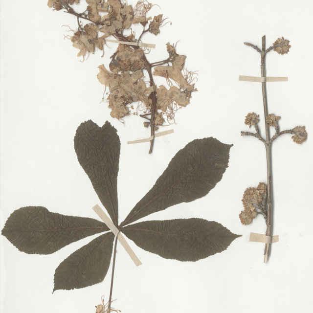 Aesculus hippocastanum L. - list, kvet.