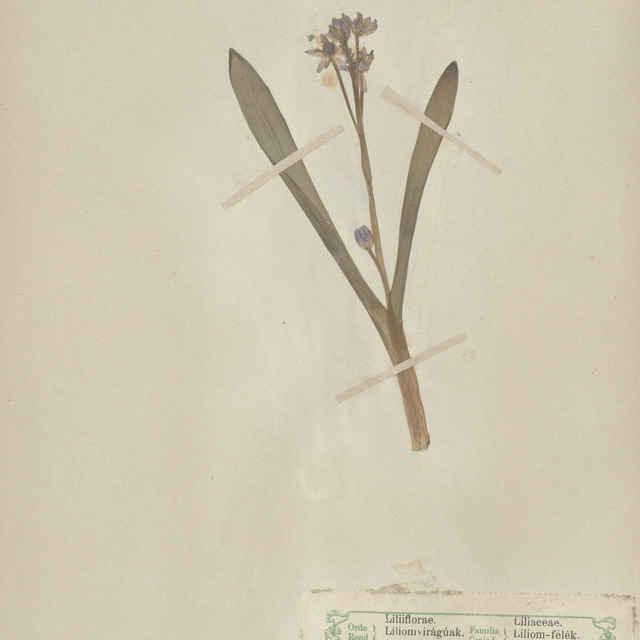 Scilla bifolia L. - nadzemná časť rastliny