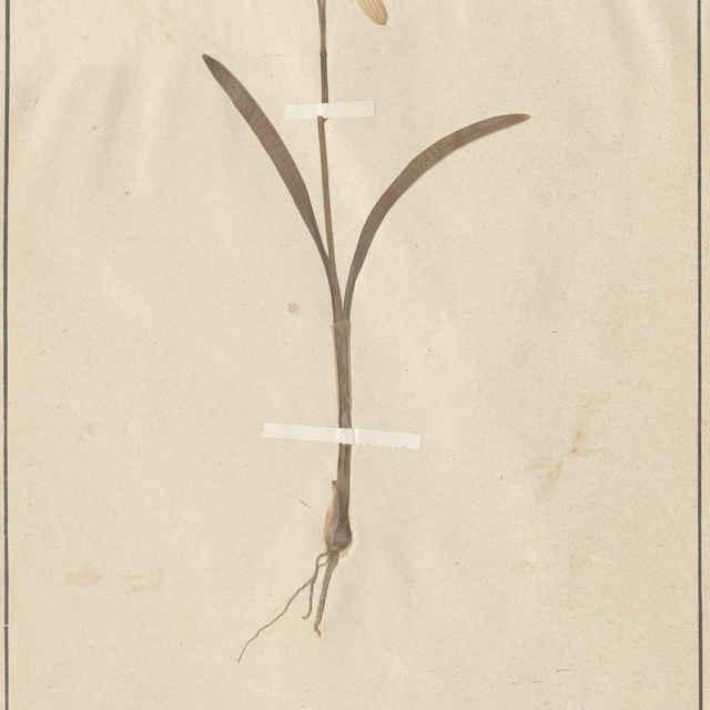 Galanthus nivalis L. - celá rastlina
