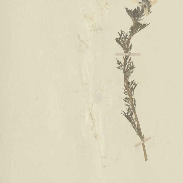 Adonis aestivalis L. - nadzemná časť rastliny