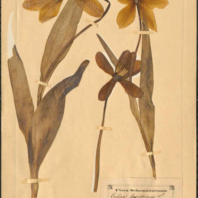 Tulipa gesneriana L.