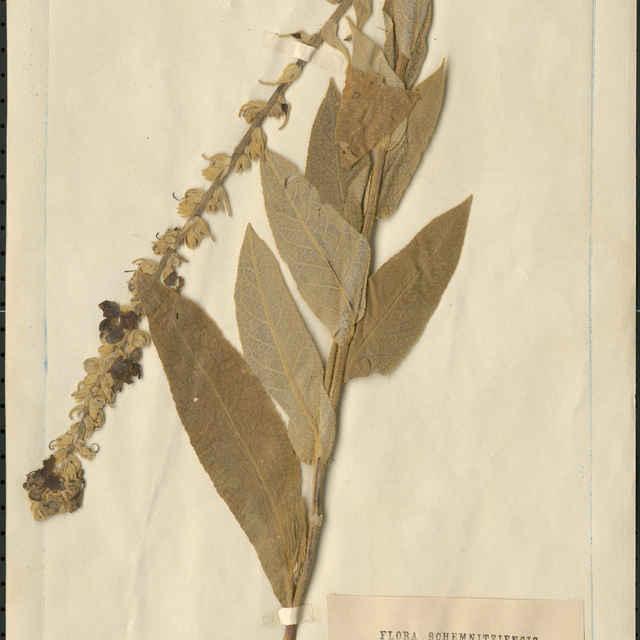 Verbascum phlomoides L.