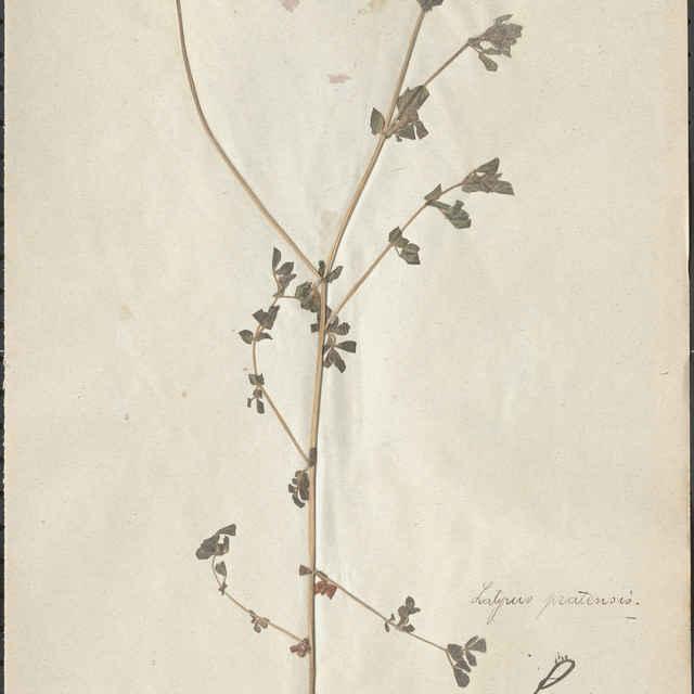 Lathyrus pratensis (L.) - nadzemná časť rastliny