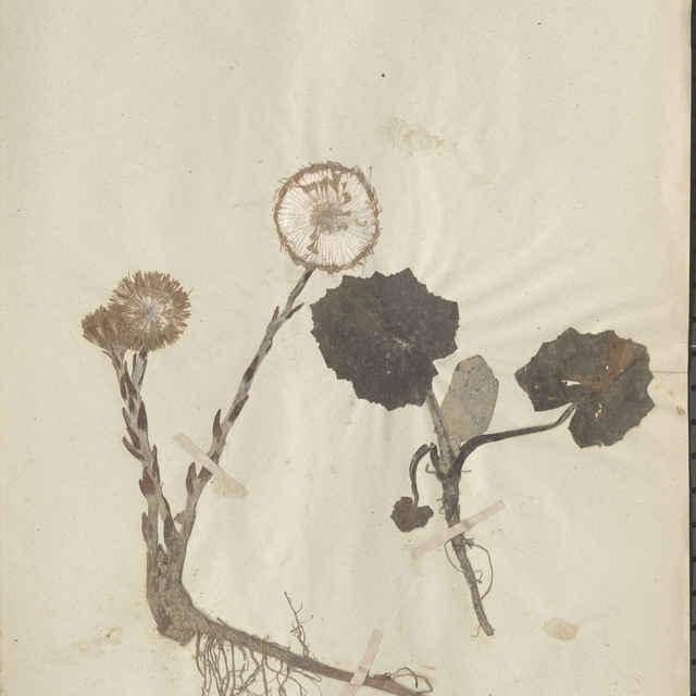 Tussilago farfara L. - celá rastlina