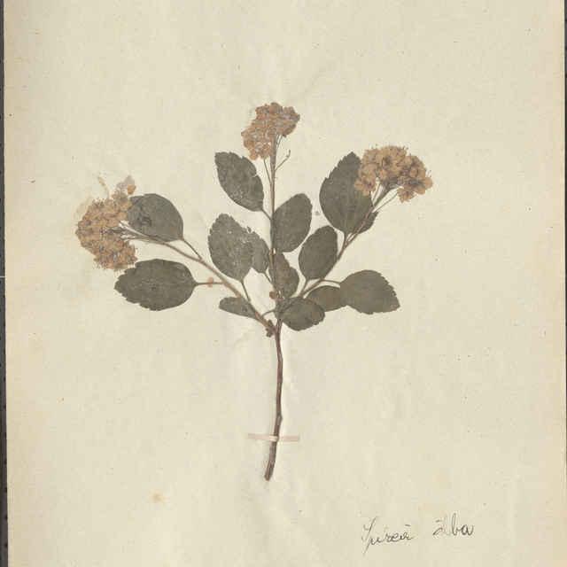 Spirea alba - konárik s kvetmi