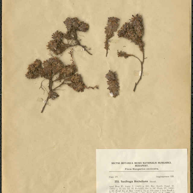 Saxifraga rocheliana Strenb.