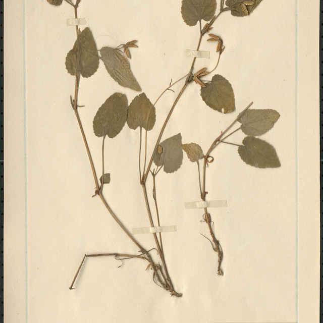 Viola montana L.
