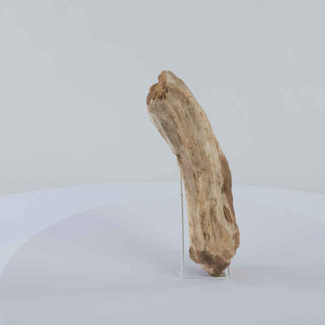 Betula prisca