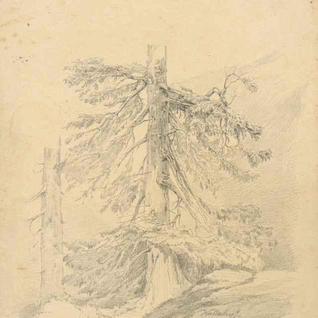 Štúdia ihličnatého stromu - Wallachy, Eugen