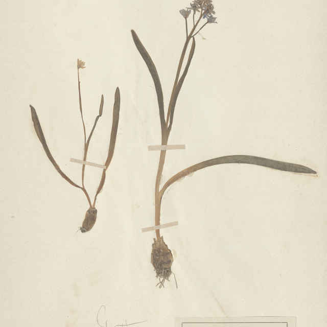 Scilla bifolia L. - celá rastlina