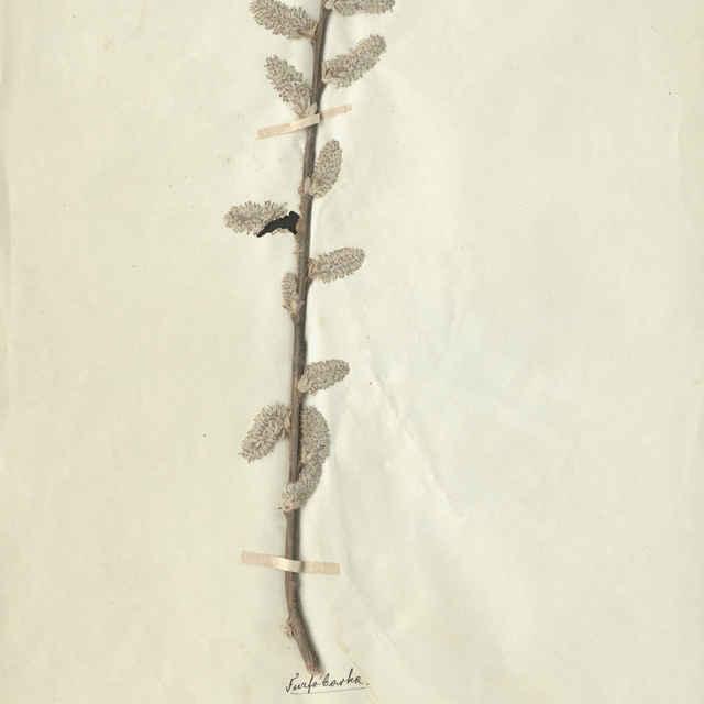 Salix fragilis L. - konárik