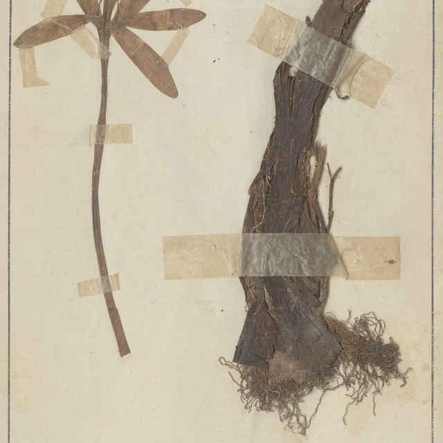 Colchicum autumnale L. - koreň a kvet
