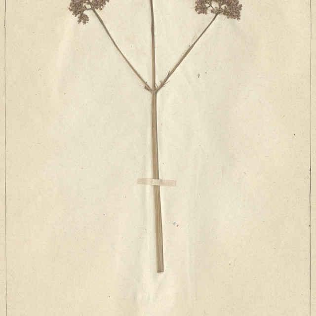 Valeriana officinalis L. - nadzemná časť rastliny