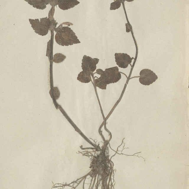 Galeobdolon luteum (Huds. emend. Holub) - celá rastlina