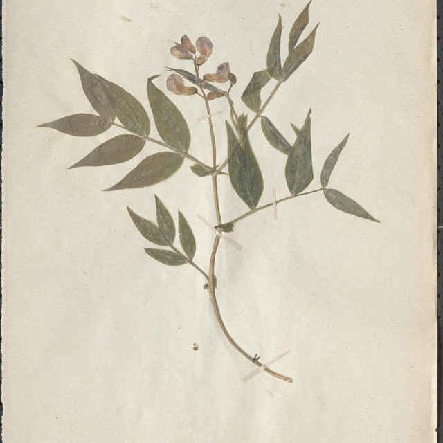 Lathyrus vernus (L.) Bernh. - nadzemná časť rastliny
