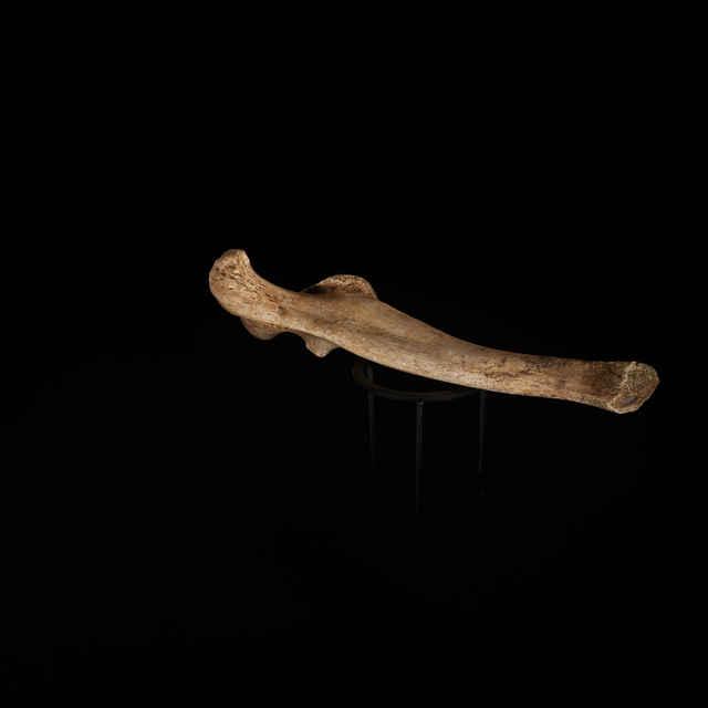 Ursus ex gr. spelaeus (Rosenmüller, 1794)