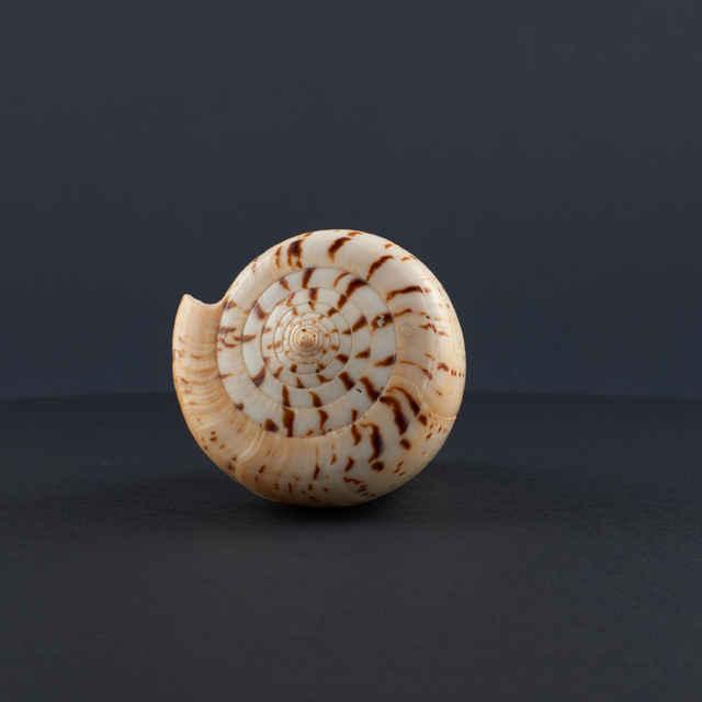 Conus betulinus (Mollusca, Gastropoda)