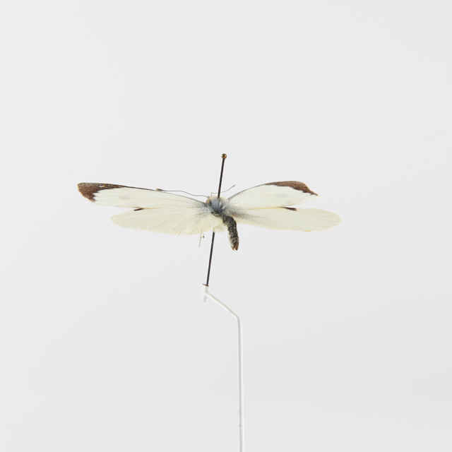 Pieris brassicae - motýľ