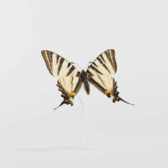 Iphiclides podalirius - motýľ