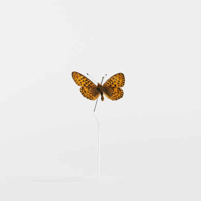 Clossiama euphrosyne - motýľ