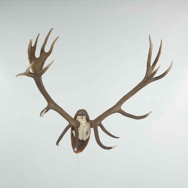 Parožie jelenie, pravá lodyha 11, ľavá 7 výsad