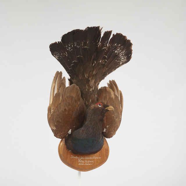 Preparát hlavy hlucháňa na drevenej podložke. Na podložke nápis: Strelený vo Veĺkej Hudrovej 20.V.1938 o 8.hod. večer, Jeho Veličenstvom.