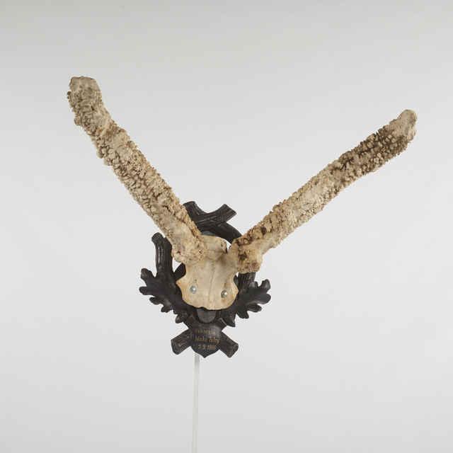 Parožie jelenie, parochniar šesťročný, váha 7 kg, na vyrezávanej drevenej podložke. Strelec. Ján Pompura, Pohorelá 5.9.1966