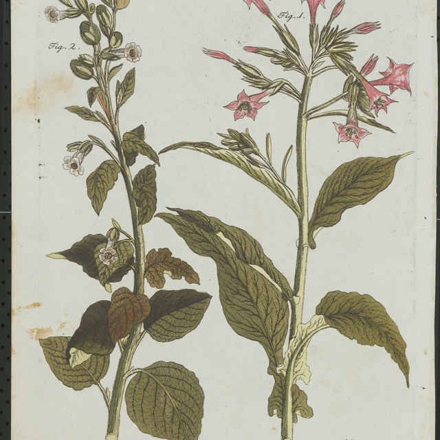 Flóra (rytina) - Schmutzer, Jacob