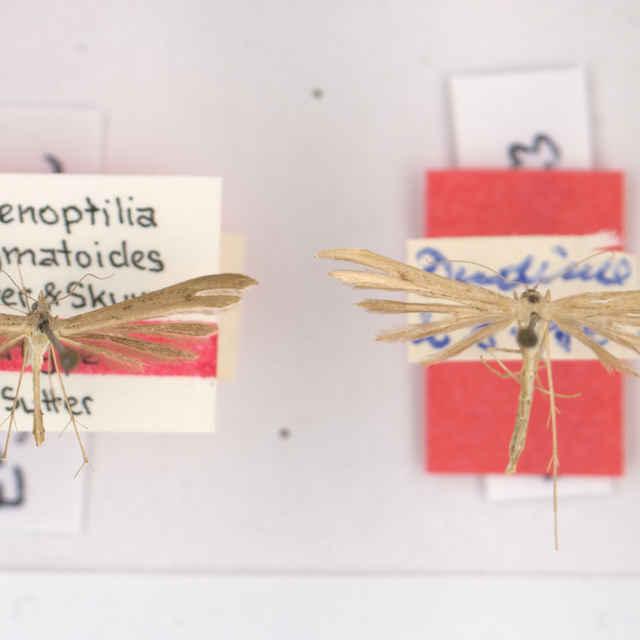 Stenoptilia stigmatoides Sutter & Skyva, 1992
