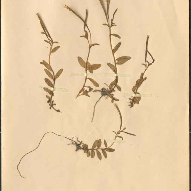 Epilobium alpinum L.