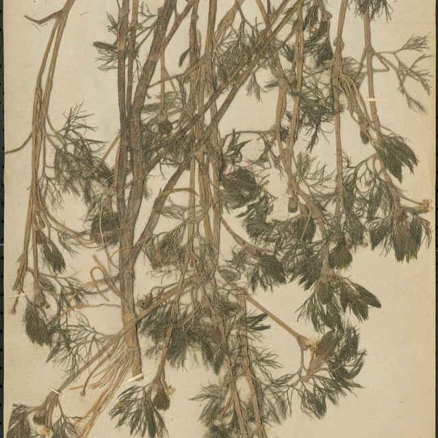 Ranunculus paucistamineus Tausch