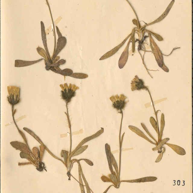 Hieracium alpinumL.