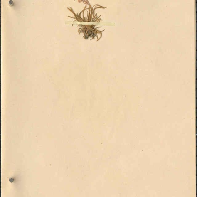 Dianthus glacialisHaenke