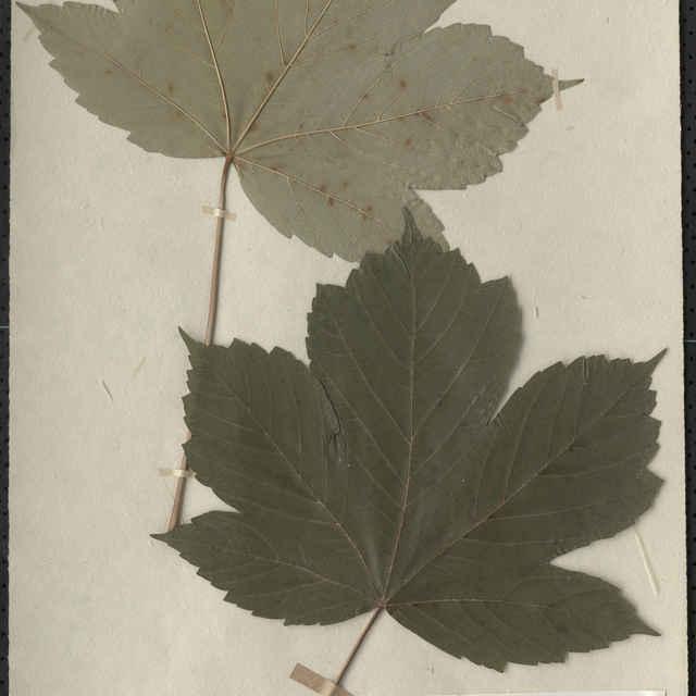 Acer pseudoplatanus L., javor horský