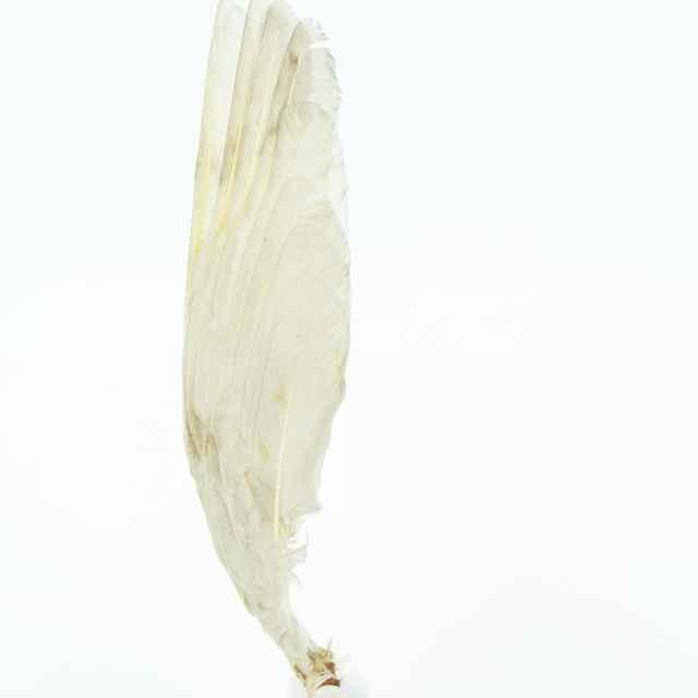 Cygnus columbianus bewickii (Yarrell, 1830)