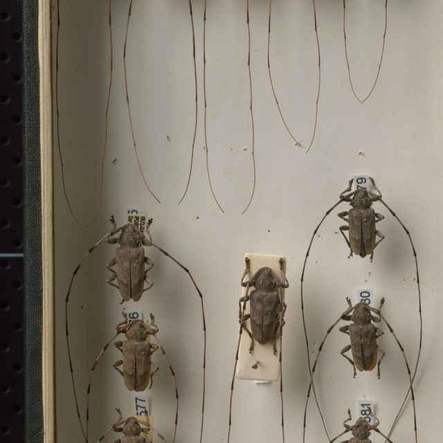 Acanthocinus aedilis (Linnaeus, 1758)