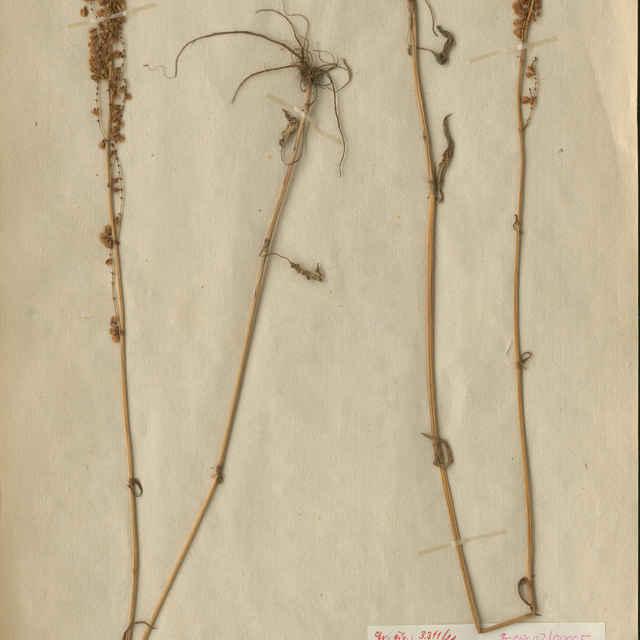 Acetosa thyrsiflora (Fingerh.) Á. Löve et D. Löve