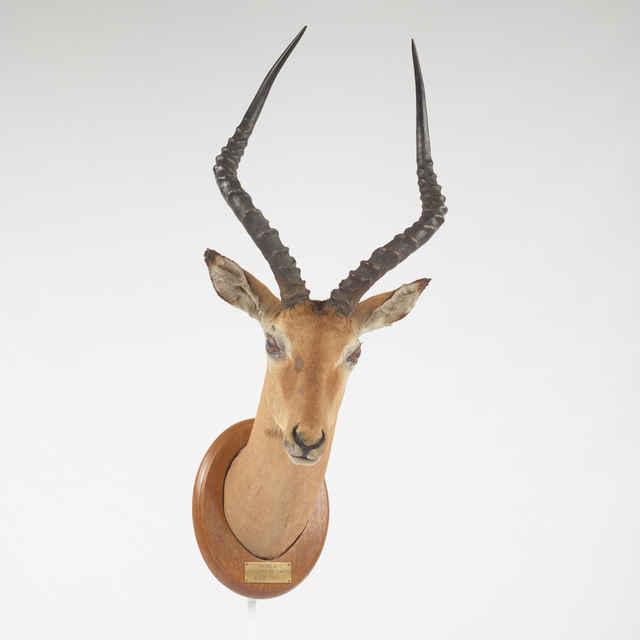 Preparát dermoplastický antilopy Impaly, hlava s krkom na oválnej drevenej podložke so štítkom a nápisom: IMPALA r.1903