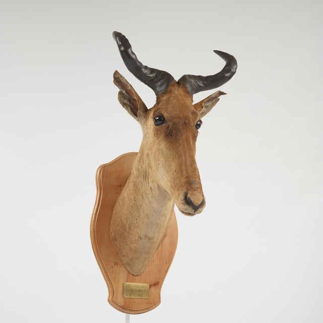 Preparát dermoplastický hlavy antilopy topi