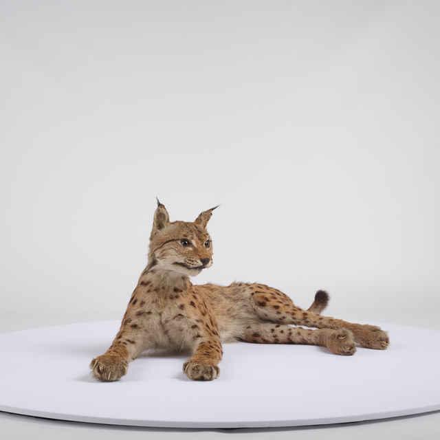 Lynx lynx (Linnaeus, 1758)
