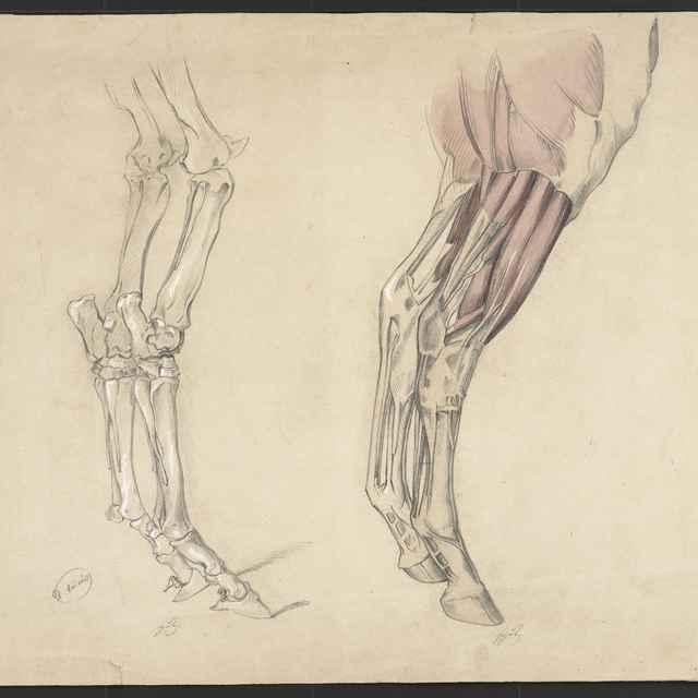Ceruzokresba, Štúdia zvieracích nôh