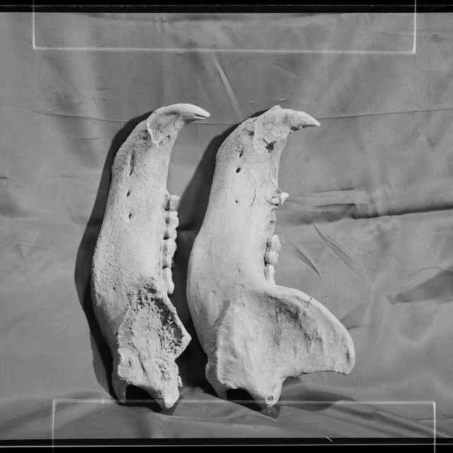 Ursus spelaeus - čeľuste (negatív) - Fotoslužba, Lipt. Mikuláš