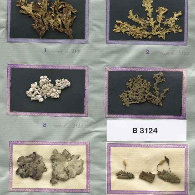 Buxbaumia viridis (Moug. ex Lam. et DC.) Brid. ex Moug. et Nestl.