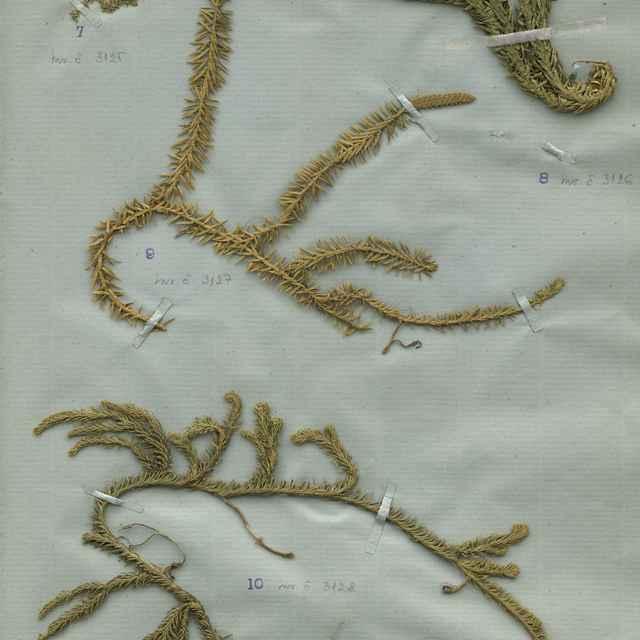 Selaginella selaginoides (L.) Mart.