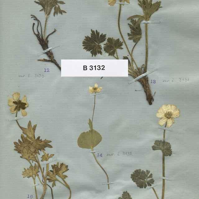 Ranunculus thora L.