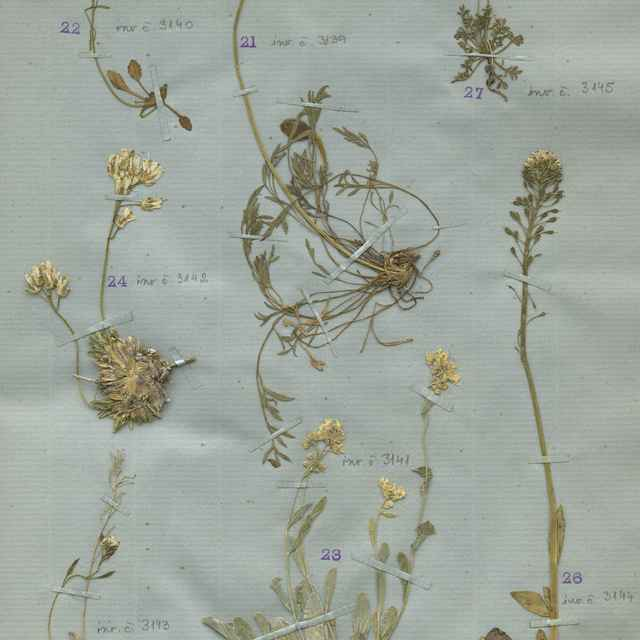 Papaver tatricum (A. Nyár.) Ehrend.