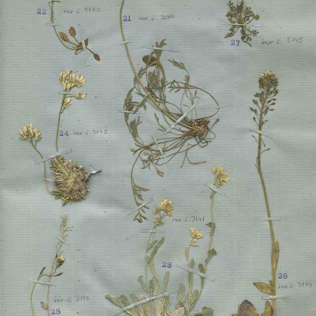 Cardaminopsis neglecta (Schult.) Hayek
