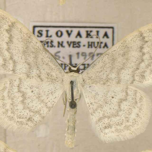 Scopula floslactata