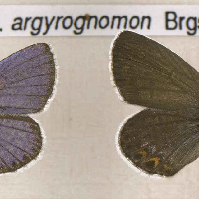Lycaeides argyrognomon
